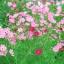 (Whole 1 Oz) ดาวกระจายสีชมพู - Pink Cosmos Flower thumbnail 2