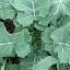 (Whole 1 Oz) ผักคะน้าเคลไซบีเรียน - Siberian Kale thumbnail 1