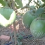 มะเขือยักษ์หยกภูพาน - Yok-Poo-Parn Giant Eggplant thumbnail 2