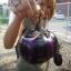 มะเขือม่วงไวโอเลต - Violet eggplant thumbnail 3