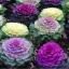 ปูเล่ประดับ คละสี - Osaka Series Mix Ornamental Cabbage thumbnail 2