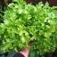 (Whole 1 Oz.) ผักสลัดโบว์ลเขียว - White Salad Bowl Lettuce thumbnail 1