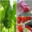 พริกกระจู๋ สีแดง - Red Peter Pepper thumbnail 1