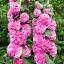 ดอกโฮลลี่ฮ็อคซ้อนคละสี - Mix Double Hollyhock Flower thumbnail 5
