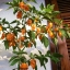พริกฮาบาเนโร่สีส้ม - Orange Habanero Pepper thumbnail 2