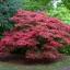 เมเปิลแดง ญี่ปุ่น - Red Japanese Maple Tree thumbnail 3