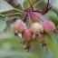 แครบแอปเปิ้ล พันธุ์ยูโรเปี้ยน ซองละ 5 เมล็ด thumbnail 2