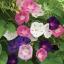 ดอกมอร์นิงกลอรี คละสี - Mixed Morning Glory Flower thumbnail 1