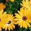 ดอกเดซี่แอฟริกา - African Daisy Flower thumbnail 1