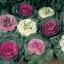 ปูเล่ประดับ คละสี - Osaka Series Mix Ornamental Cabbage thumbnail 1