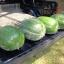 (Whole 1 Oz) แตงโมยักษ์ พันธุุ์แบล็คไดมอนด์ - Black Dimond Giant Watermelon thumbnail 1