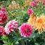 ดาเลียดินเนอร์เพลต(ดอกรักเร่) คละสี - Mix Dinner Plate Dahlia Flower thumbnail 4
