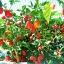 พริกฮาบาเนโร่สีแดง - Red Habanero Pepper thumbnail 4