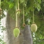 ต้นไม้ยักษ์ เบาบับดิจิทาทา - Adansonia digitata baobab thumbnail 4