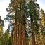 ต้นสนยักษ์ ซีคัวญา - Giant Sequoia Tree thumbnail 2