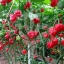 พริกตรินิแดด มอรูก้า สกอร์เปียน(สีแดง) - Trinidad Moruga Scorpion thumbnail 4