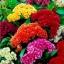 ดอกหงอนไก่ คละสี 30 เมล็ด / ชุด thumbnail 1