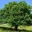 ต้นไวท์บีม ซองละ 5 เมล็ด thumbnail 1