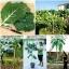 คะน้าต้นสูง - Portuguesa Kale Tree thumbnail 2
