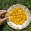 มะเขือเทศลูกแพรสีเหลือง - Yellow Pear Tomato thumbnail 3