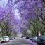ศรีตรัง - Jacaranda mimosifolia Blue thumbnail 3