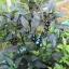 พริกประดับ ไข่มุกดำ - Black Pearl Pepper F1 thumbnail 4