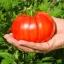 มะเขือเทศสเต็กสีแดง - Red Beefsteak Tomato thumbnail 1