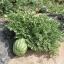 (Whole 1 Oz) แตงโมคลอนไดค์ - Klondike Striped Watermelon thumbnail 3