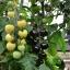 มะเขือเทศเชอรี่สีขาว - White Cherry Tomato thumbnail 2