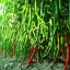 พริกยาวเขียว - Green Long pepper F1 thumbnail 2