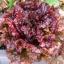 ผักสลัด รูบี้เรด - Ruby Red Lettuce thumbnail 1