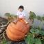 ฟักทองยักษ์ พันธุ์แอตแลนติก - Atlantic Giant Pumpkin thumbnail 5