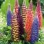 รัสเซล ลูปิน - คละสี - Mix Russell Lupin Flower thumbnail 4