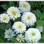(Whole 1 Oz) ดอกบานชื่นสีขาว - White Zinnia Flower thumbnail 3