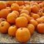 ฟักทองแมมมอธ - Mammoth Gold Pumpkin thumbnail 3