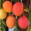 ฟักข้าว - Cochinchin Gourd thumbnail 2