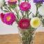ดอกแอสเตอร์ - Aster Flower Mix thumbnail 3
