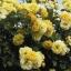 กุหลาบเลื้อยสีเหลือง 10 เมล็ด/ชุด thumbnail 1