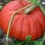 ฟักทองซินเดอเรลร่า - Cinderella Pumpkin thumbnail 1
