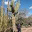 กระบองเพชร ซากัวโร่ - Arizona Saguaro Cactus Seeds thumbnail 4
