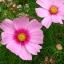 ดาวกระจายสีชมพู - Pink Cosmos Flower thumbnail 3