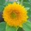 ทานตะวัน เทดดี้แบร์ - Teddy Bear Sunflower thumbnail 3