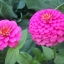 (Whole 1 Oz) ดอกบานชื่นสีชมพู - Pink Zinnia Flower thumbnail 2