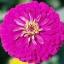 ดอกบานชื่นสีม่วง - Mixed Purple Zinnia Flower thumbnail 1