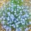 บลูเฟล็กซ์ - Blue Flax Flower thumbnail 1