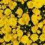 ดอกมัมสีเหลือง thumbnail 1