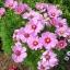 (Whole 1 Oz) ดาวกระจายสีชมพู - Pink Cosmos Flower thumbnail 1