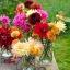 ดาเลียดินเนอร์เพลต(ดอกรักเร่) คละสี - Mix Dinner Plate Dahlia Flower thumbnail 3