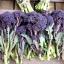 (Whole 1 Oz.) เบบี้บล็อคโคลี่สีม่วง - Purple Sprouting Broccoli thumbnail 3