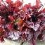 ผักสลัด รูบี้เรด - Ruby Red Lettuce thumbnail 2